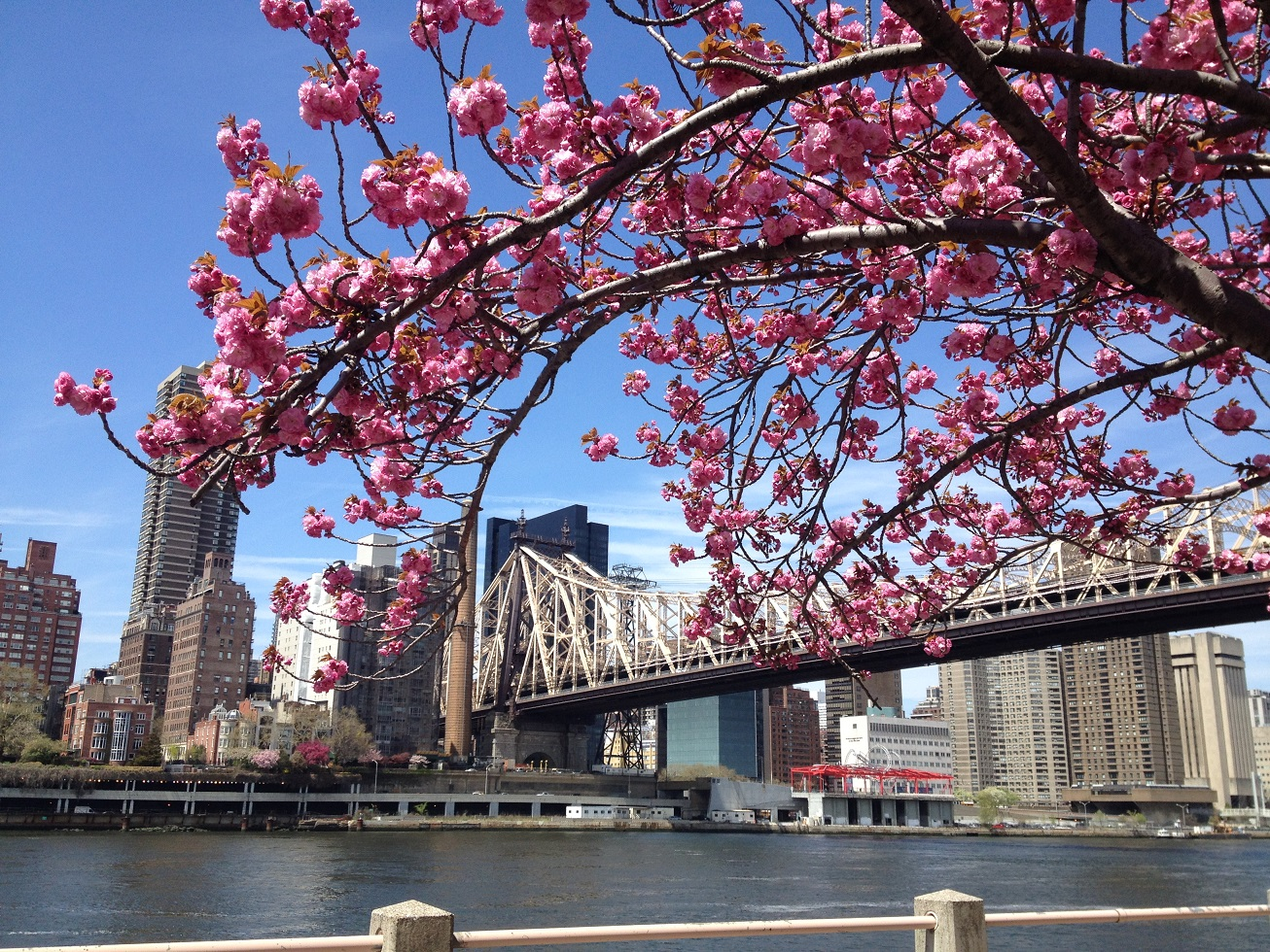 Roosevelt Island Cherry Blossoms Prettiest Pink In Nyc