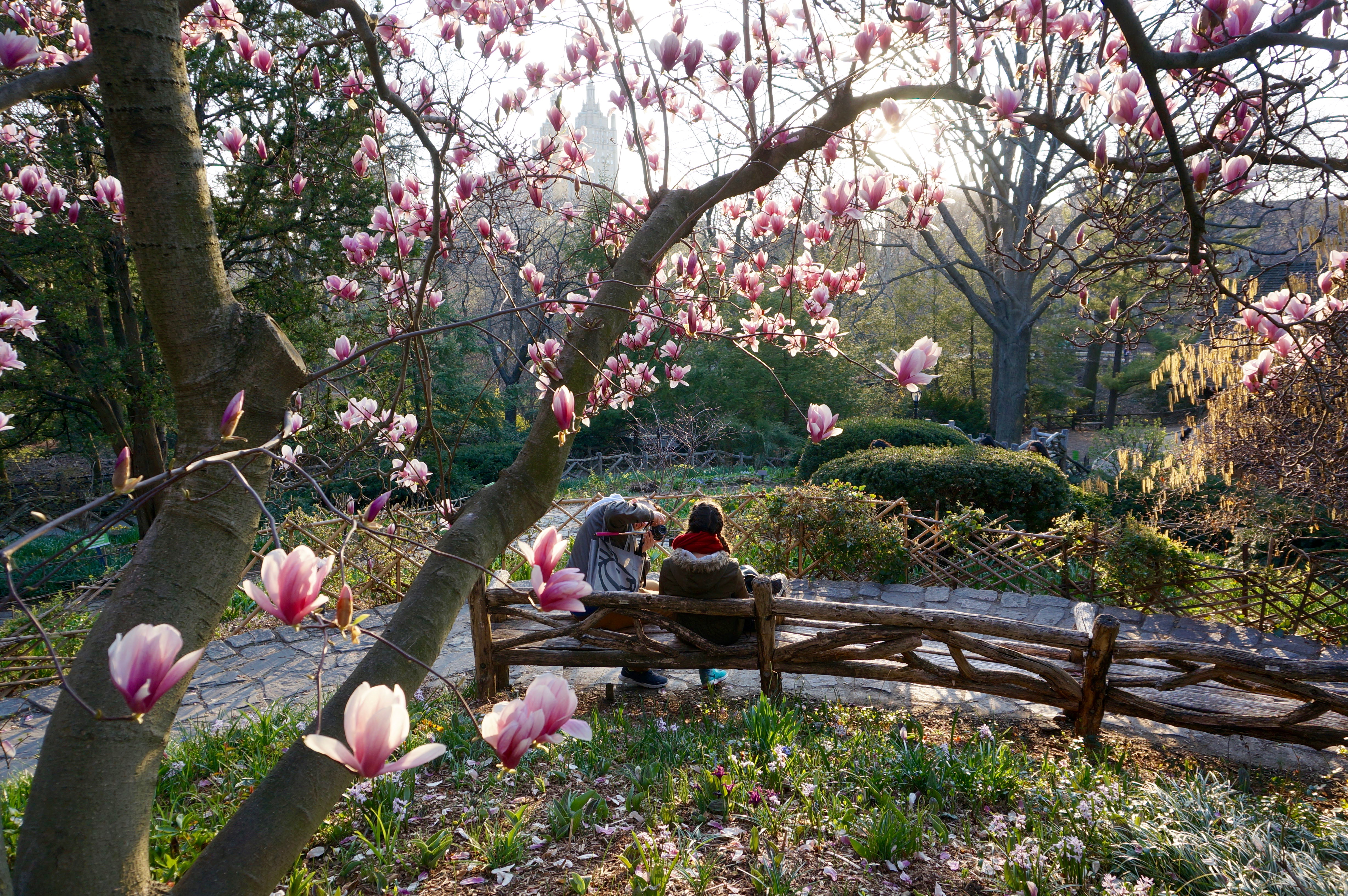 The Central Park Magnolia Blossoms Are So Beautiful